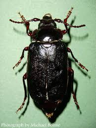 Asian beetles new england