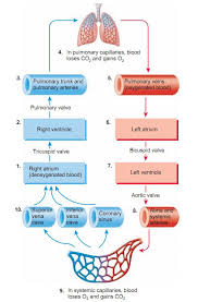 Blood Flow Of The Heart Cardiac Nursing Medical Science
