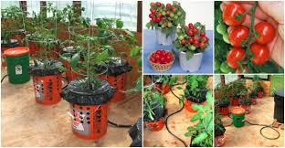 self watering container garden how to grow tomatoes in a bucket