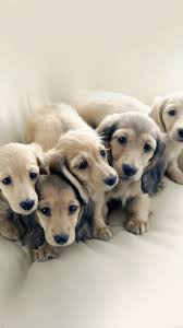 Puppy Dog Retriever Family Animal ...