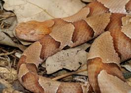 Copperhead Snakes Facts Bites Babies Live Science