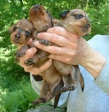 cream dachshund breeder mini dachshunds