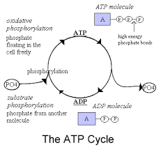 Atp Chart Role Of Atp My Site On Biochemistry