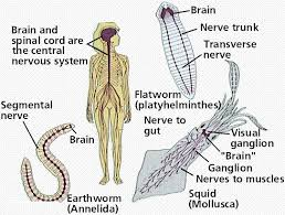 Comparative Functions Of Nervous And Endocrine Systems Chart The Nervous System