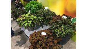 with garden performance in sun or shade the flamethrower series from ball floraplant adds texture in the garden and especially in mixes and patio pots