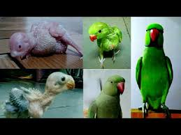Parakeet Growth Chart Indian Ringneck Parrot Growth Day By Day