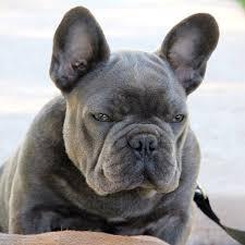 micro machine blue french bulldog puppy