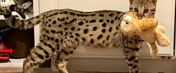 savannah cat for pa