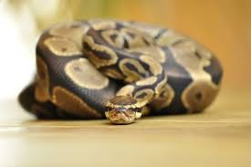 Ball Python Size Chart Feeding Your Pet Ball Pythons