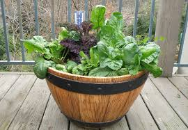 growing spinach in a whiskey barrel