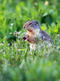 how to get rid of gophers moles and armadillos