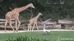zoo. Exellent Zoo Fort Worth Zoo Opens New 100 Million African Savanna Exhibit For