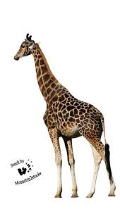 Image of: Neck Northern Giraffe Animal Encapsulated Postscript Giraffidae Wildlife Png Image With Transparent Background Kisspng Northern Giraffe Animal Clip Art Giraffe 6771181 Transprent Png