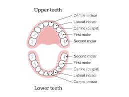 What Age Do Kids Lose Teeth Chart Baby Teeth Chart What Order Do Babies Teeth Come In