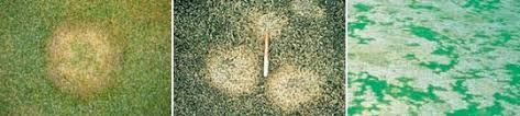 Turf Disease Lawn Diseases Trugreen Professional Lawn Care