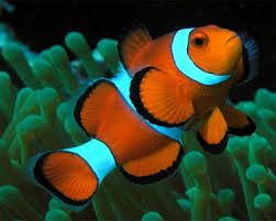 black and yellow clown fish. Exellent Black The Ocellaris Clownfish Or False Percula Clownfish Is One The Most  Popular Aquarium Saltwater Fish And Closely Related To Orange Clownfish U201ctrue  For Black And Yellow Clown Fish
