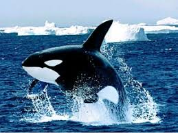 Image result for عکس نهنگ قطبی