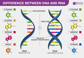 Dna Vs Rna Introduction And Differences Between Dna And Rna
