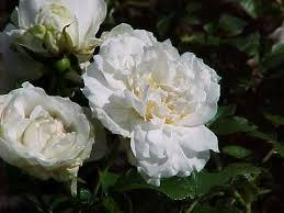 rose du jour sir thomas lipton