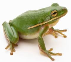 image of a frog.  Frog Green Tree Frog Hylidae Cinerea See More Amphibian Pictures And Image Of A Frog Animals  HowStuffWorks