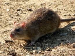 Rodents Lower Classifications Brown Rat Wikipedia