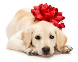 What happens on Christmas day? lab puppy with bow