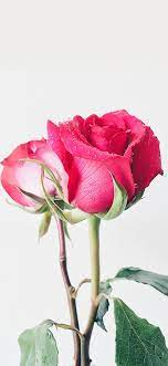 49+ Beautiful Rose iPhone Wallpaper (HD ...