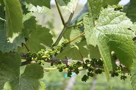 Image result for april grapeyard