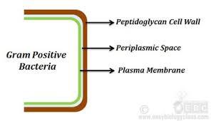 Gram Negative Bacteria Chart Gram Positive Vs Gram Negative Bacteria A Comparison