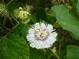 Image result for Hính ảnh hoa nhãn lồng