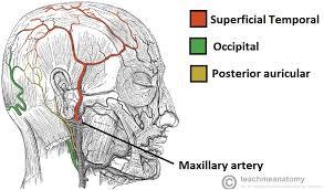 arteries of the face major arteries of the head and neck carotid teachmeanatomy