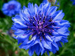 Images & Illustrations of cornflower