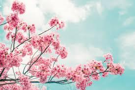 Bunga Sakura Sakura Mekar Lebih Awal Di Jepang