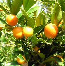 Container Grown Kumquat Trees U2013 Learn How To Grow Kumquat In A PotKumquat Tree Not Bearing Fruit