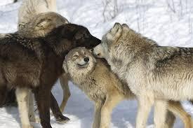 Wolf Body Language Chart Wolf Facts Animal Facts Encyclopedia
