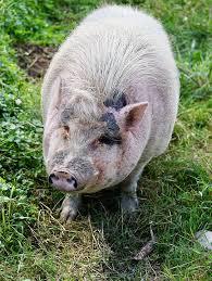 Bildergebnis für schwein