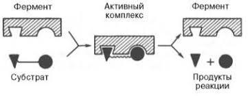 Реферат Механизмы действия ферментов Рис 4 7 Образование нестойкого фермент субстратного комплекса согласно теории Э Фишера ключ замок