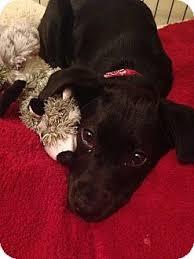 st petersburg fl retriever meet beautiful lab puppies a dog for adoption