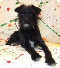black cairn terrier mix. Perfect Cairn Adopted Throughout Black Cairn Terrier Mix C