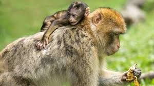 monkeys injected with human brain genes grew intelligent in controversial study