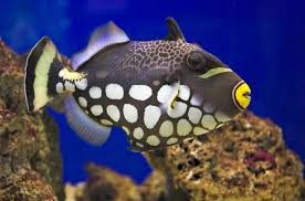 clown triggerfish. Exellent Triggerfish Triggerfish To Clown S