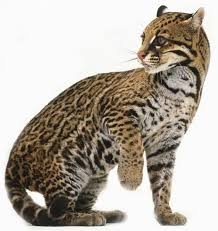 ocelot size interesting fact of the day the ocelot ocelots have small litters