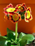 Images & Illustrations of auricula
