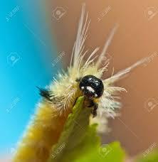 Light Yellow Fuzzy Caterpillar Yellow Fuzzy Caterpillar Eating Maple Leaf Close Up Shot