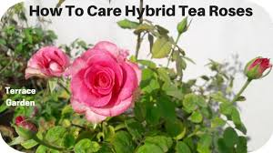 rose plant care in hindi ह इब र ड ग ल ब क द खभ ल कर ऐस l terrace garden channel