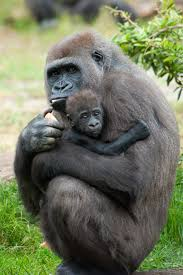 top ways to save wildlife shareamerica gorilla and baby eric gevaert shutterstock com