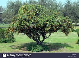 Golden Lotus Banana  Direct GardeningLotus Fruit Tree