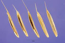 Plants Profile for Bromus erectus (erect brome)