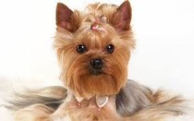 the various yorkie haircuts can give totally diffe appearances to your pet with just an hour spent in the grooming salon