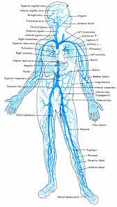 Vein Chart Circulatory System Anatomy Physiology